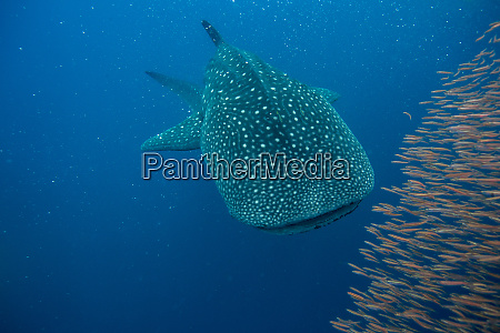 whale shark rhincodon typus with a