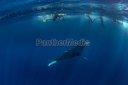 snorkellers with an oceanic manta ray