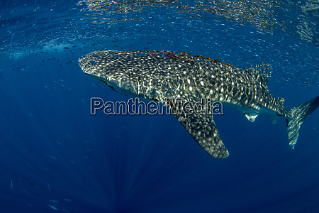 whale shark rhincodon typus with shoal