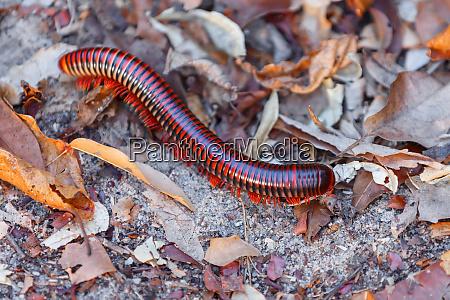 millipede madagaskar tierwelt und wildnis