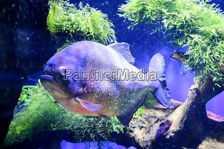 ein piranha im fluss