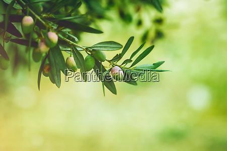 gruener olivenbaum
