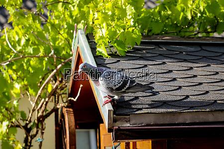 eine taube sitzt auf dem dach
