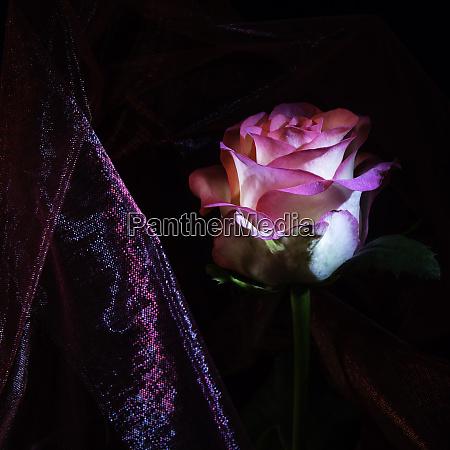 weisse rosenbluete mit rosa rand und