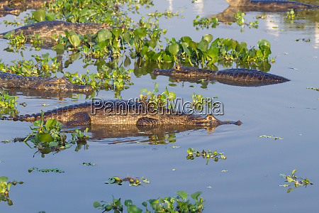 caiman schwebt auf pantanal brasilien
