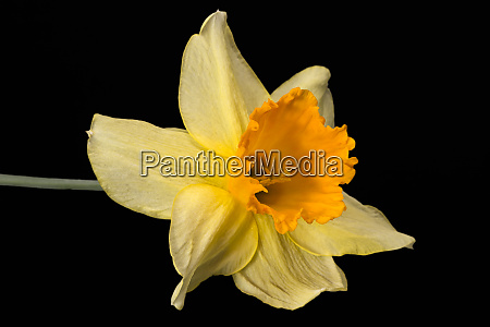 single flower of daffodil narcissus on
