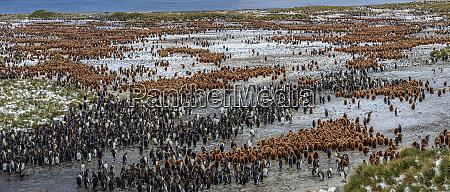 luftaufnahme von pinguinen auf der suedgeorgieninsel