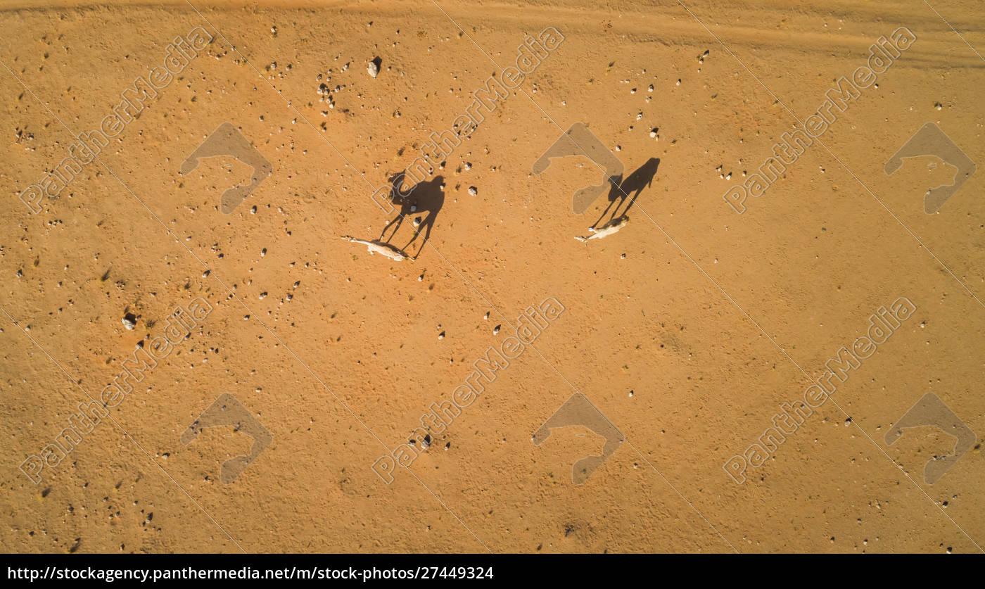 luftaufnahme, von, ein, paar, kamelen, in - 27449324