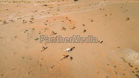 luftaufnahme einer gruppe von kamelen in