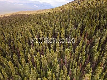luftaufnahme des pinienwaldes rund um lake