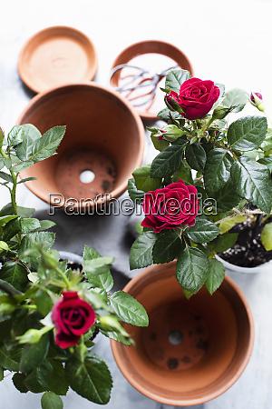 stillleben von rosenpflanzen und terrakotta blumentoepfen