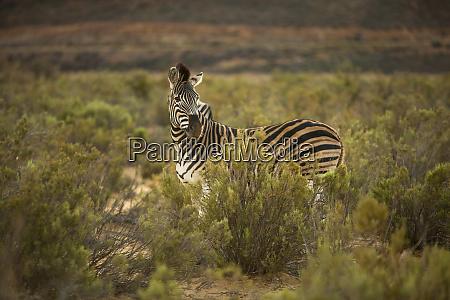 zebra im naturschutzgebiet touws river westkap