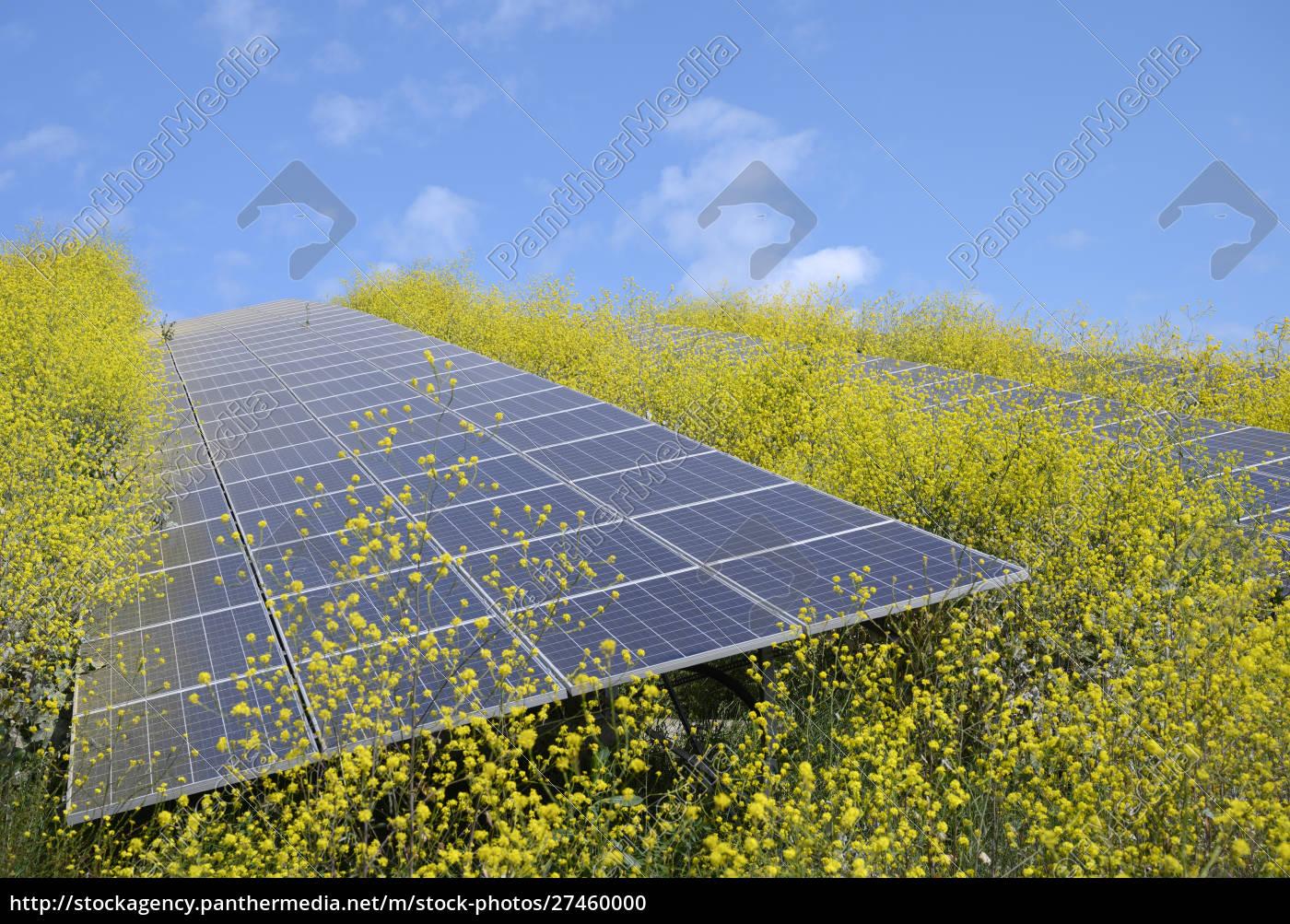 sonnenkollektoren, umgeben, von, senfpflanzen, im, solarpark, geldermalsen, gelderland, niederlande - 27460000