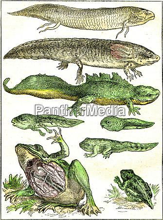 UEbergang von fisch zu amphibien vintage