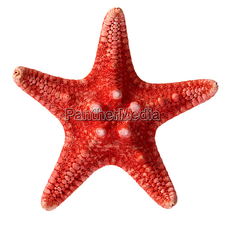 dried red sea star isolated on