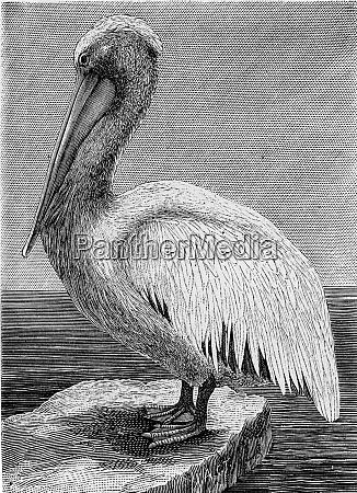 der pelikan vintage gravur