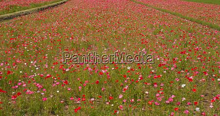 pink poppy flower in the garden