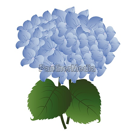 vector illustration blue hydrangea flower