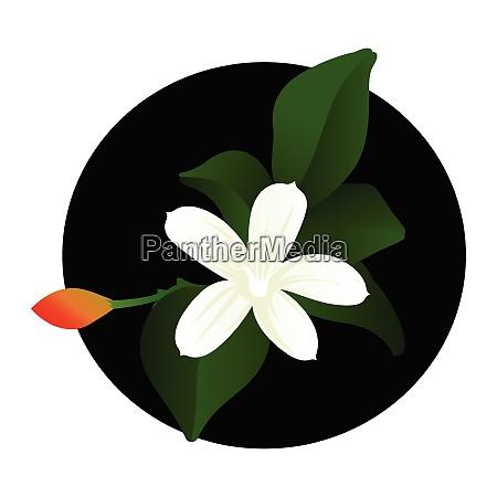 vector illustration of white jasmine flower