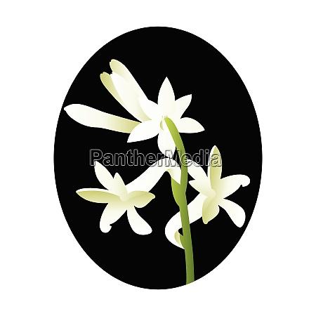vector illustration of white tuberose flower