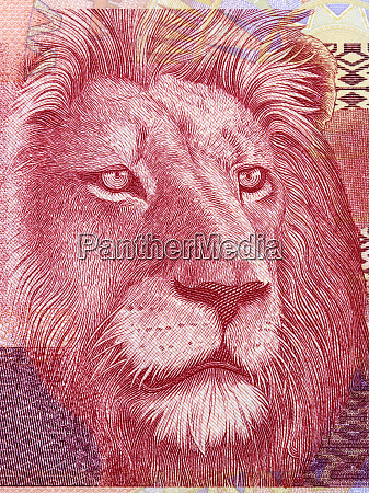 lion a portrait from south