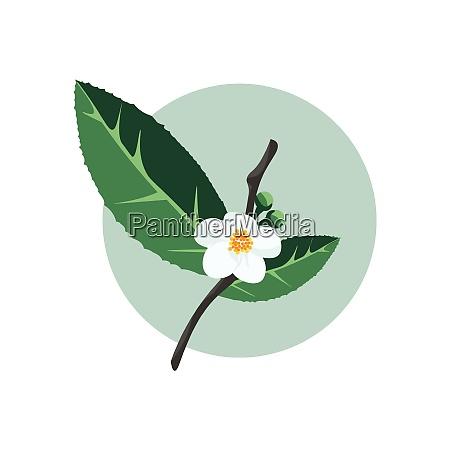 green tea plant vector or color