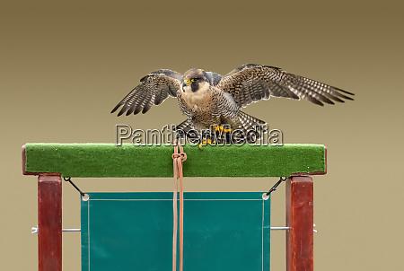 falconry scenery