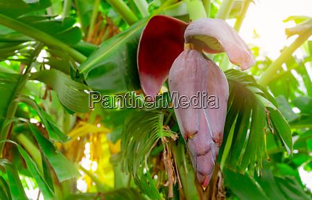bananenbaum und gruene blaetter mit bananenbluete