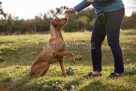 frau trainiert vizla hund mit erhobener