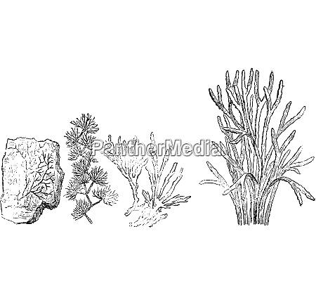 Ältere, pflanzen., kambrische, periode, vintage-gravur. - 27538399