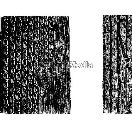 sigillaria rinde fossile exemplar