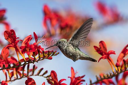 ein weiblicher anna kolibri calypte anna