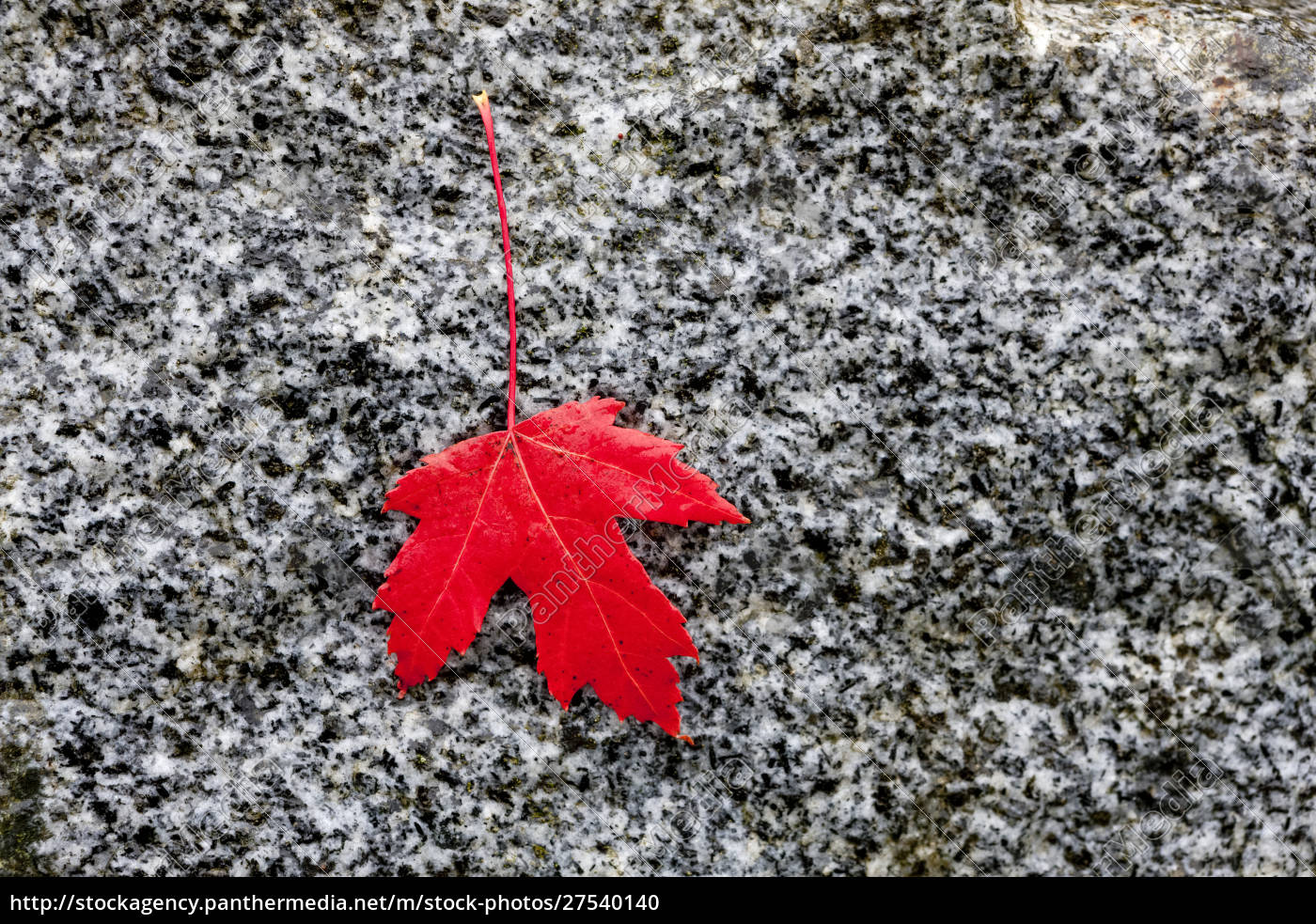 rotes, ahornblatt, auf, grauem, hintergrund;, kanada - 27540140