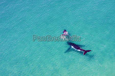luftaufnahme eines buckelwals moreton bay queensland
