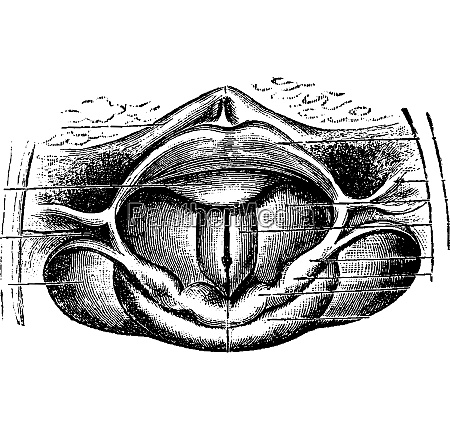 normal larynx vintage gravur