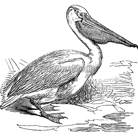 great white pelican or eastern white
