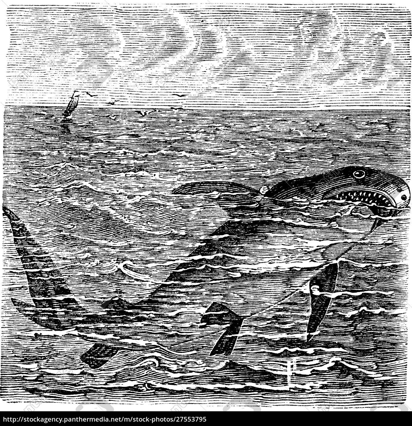 große, weiße, hai, oder, carcharodon, carcharias - 27553795