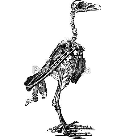 skelett eines vogels vintage gravur
