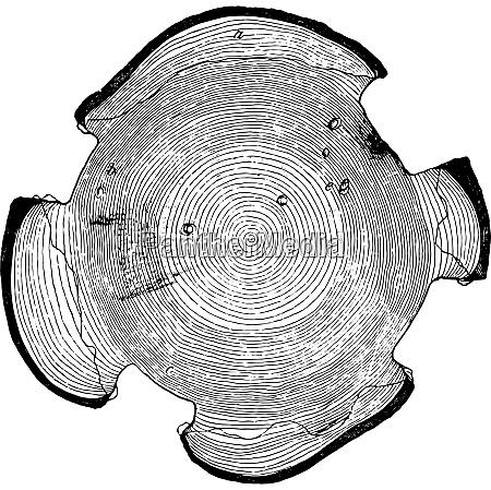 querschnitt eines kiefernthrons zum klopfen eingereicht