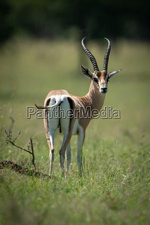 grant gazelle steht und dreht kopfueber