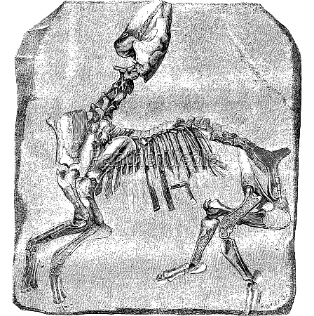 skeleton of the great paleotherium de