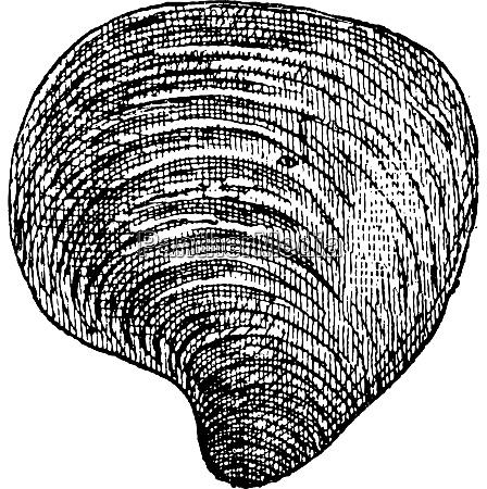 suesswassermuschel vintage gravur