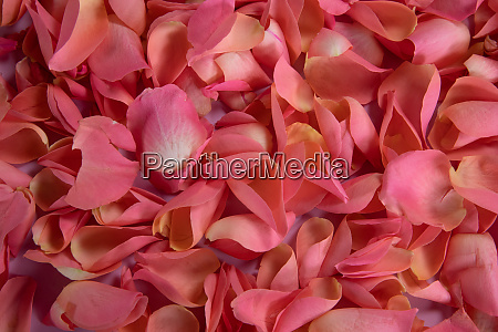 pink rose petals crowded