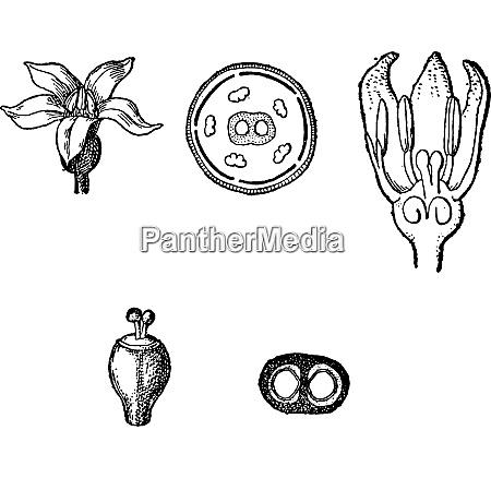 rubiaceae oder kaffee familie vintage gravur