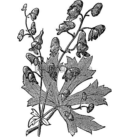 blume der moenche oder aconitum napellus