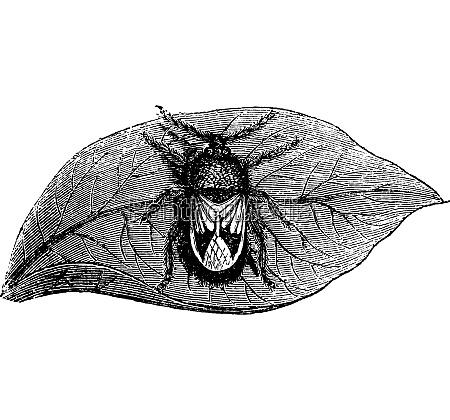 rhyparochromidae oder samen bug vintage gravur