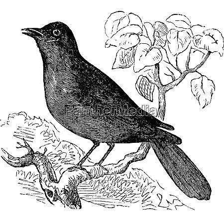 great reed warbler or acrocephalus arundinaceus
