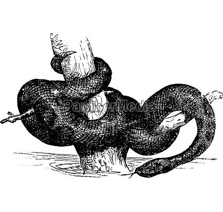 gruene anaconda oder eunectec murinus alten