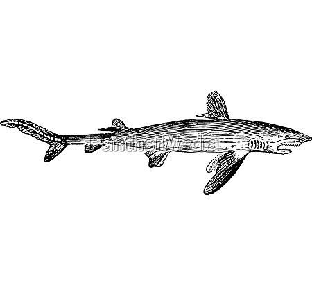 shark vintage engraving