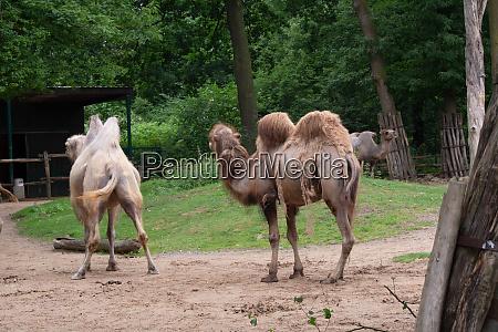 afrikanische kamele grasen